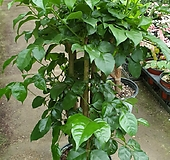 녹보수 키60|happy tree