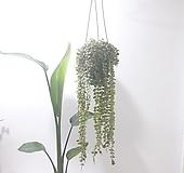 디스케리아 (중) *쟈스민 식물*|