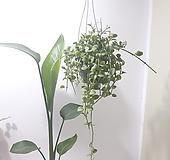 디시디아 (대) *쟈스민 식물*|