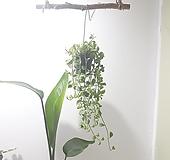 디시디아 (소) *쟈스민 식물*|