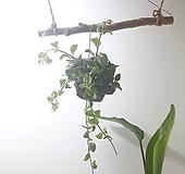 디시디아 반볼 (중) *쟈스민 식물*|