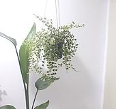 밀레니엄하트 칼라 (중) *쟈스민 식물*|