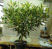 워터자스민 특특대품6번-물을좋아하는향기좋은나무-동일품배송|