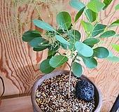 영레이디 스모크트리/안개나무 이태리토분완성분(안개가 피오르듯 아름다운 영레이디)|