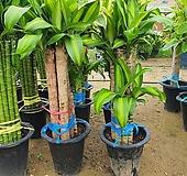 칼라행운목( 신상) 공기정화식물|
