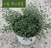 트리안 (뮤렌베키아) 지름 15cm 중품 관엽화분|Muehlenbekia complexa