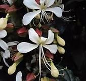 꽃이너무예쁜 나비시다래(수양쟈스민)|