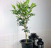 오렌지 자스민 대형 오렌지 쟈스민 대형 향기 좋은 식물 키우기 쉬운 식물 대형식물|