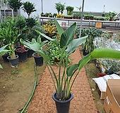 여인초 (실내공기정화식물)2촉 신상키약110|