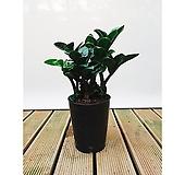 보석금전수 돈나무 화초 거실 현관 여름 인테리어식물|
