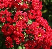 세종식물원 정원 조경 목백일홍 배롱나무 다이너마이트 특대품 나무 묘목 화분 (적색)|