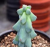 용비 Myrtillocactus geometrizans cv. fukurokuryuzinboku