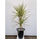 황금 마지나타 럭키 화초 인테리어 관엽 여름식물|