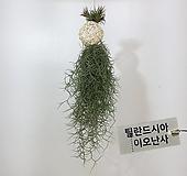 수염틸란드시아 이오난사 화이트볼 행잉플랜트 에어플랜트 공중식물|