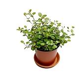 트리안 수경재배가능식물|