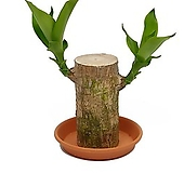 행운목 수경재배가능식물|