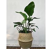 여인초+라탄해초바구니화분 세트 감성 인테리어식물|