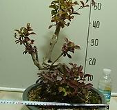 캉캉백일홍1-원목-멋진수형-황홀한꽃-귀한품종-사진동일상품배송|