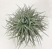 휴스턴 틸란드시아 행잉플랜트 에어플랜트 공중식물 공기정화식물|