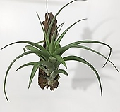 틸란드시아 비비파라 플렉수오사 플렉스오사 공기정화식물|