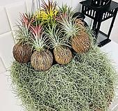 틸란드시아 수염틸란 이오난사 코코넛볼 에어플랜트 공기정화식물 플랜테리어|