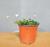 풍로초 (흰꽃) 