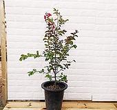 [하늘꽃농원] 목백일홍 (배롱나무)|