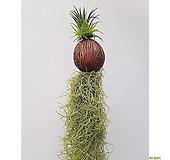 수염틸란드시아 이오난사 행잉플랜트 집안 인테리어식물|