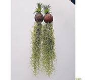(2개세트) 코코넛 수염틸란드시아 행잉플랜트 욕실식물|