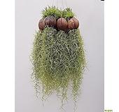 (5개세트) 코코넛 수염틸란드시아 행잉플랜트 에어플랜트 공중식물|