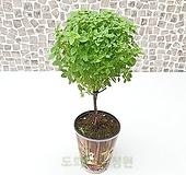 도희씨네 정원>> 막대사탕 토피어리 바질트리 중형 120|