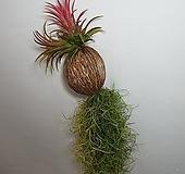 수염틸란드시아 +이온난사 (미세먼지제거식물) |