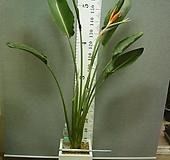 꽃피는극락조84번-완성분-대형1촉 년 중 3~5회 꽃핌-개화주-동일품배송|