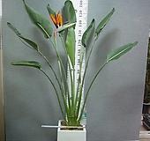 꽃피는극락조85번-완성분-대형1촉 년 중 3~5회 꽃핌-개화주-동일품배송|