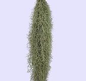 꽃과나무 ] 수염틸란드시아 / 틸란드시아 / 관엽 / 공기정화 / 관상용 / 그린테리어|