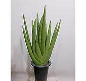 손바닥 스투키 모주 (2족)  공기정화식물 초보자|