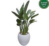 꽃피는 극락조 대형 관엽 흰색원형완성분 인테리어식물 감사화분 호텔로비식물|