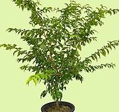 꽃과나무 ] 아기별자스민 / 자스민 / 쟈스민 / 워터자스민 / 관엽 / 목본류 / 외목대 / 향기 / 인테리어 |