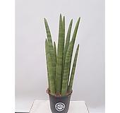 스투키 공기정화식물 미세먼지제거 거실인테리어식물|