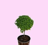 꽃과나무 ] 바질나무 / 관엽 / 허브 / 외목대 / 관상용 / 그린테리어 / 향기|