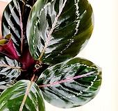 [용플라워] 칼라데아 로세오펙타 공기정화식물 
