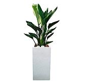 극락조 (여인초) 시멘트사각 대형 大 인테리어식물 DLP-238|