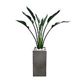꽃피는 극락조 대형 개업선물 축하화분 거실인테리어식물 DLP-252|