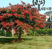목백일홍 다이너마이트 특선 - 정원 조경 배롱 나무 묘목 화분 (세종식물원)|