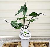 [용플라워] 스팅레이 가오리 알로카시아 공기정화식물 