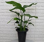 극락조화, 여인초 / 실내 공기정화식물,|