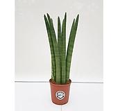스투키(중품) 실내인테리어식물 화초|