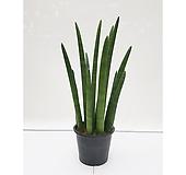 스투키(대) 다육식물 실내인테리어화초|