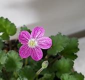 풍로초(핑크,홀꽃) 