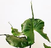 꽃파는농부 - 가오리 알로카시아(알로카시아 스팅레이) 